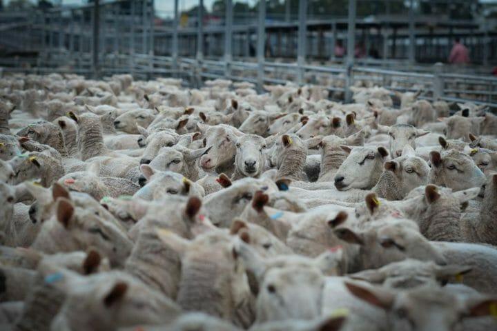 Sheep_WeAnimals-1