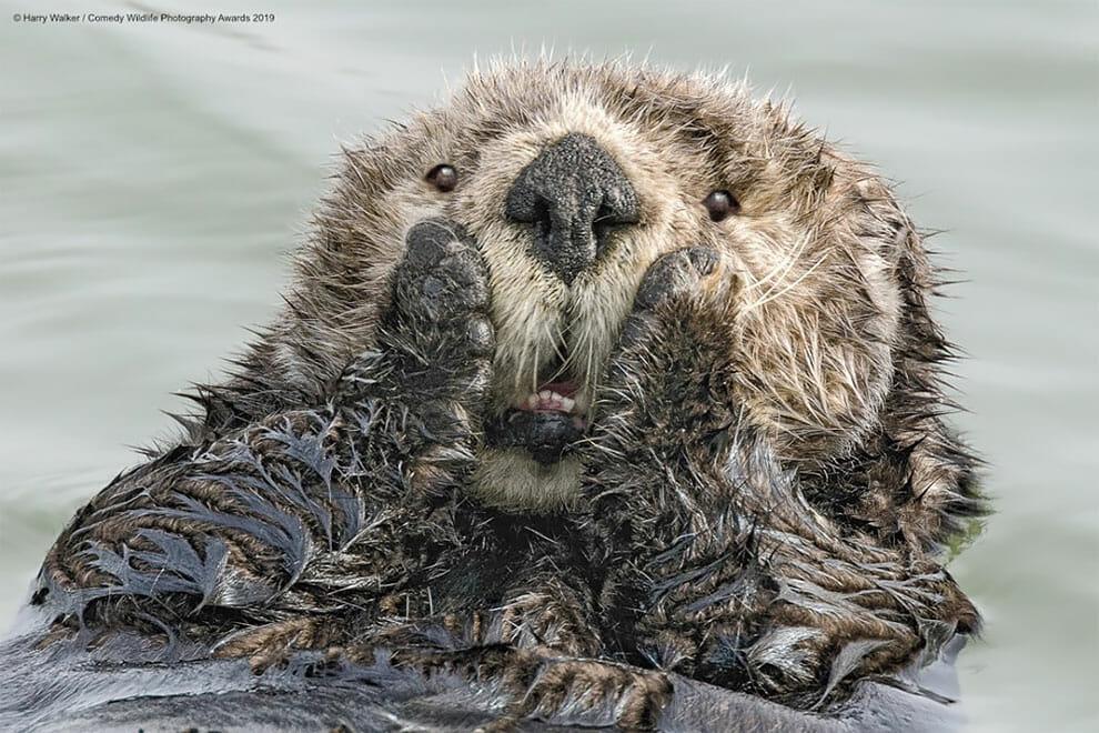 Oh my God, photo de loutre comedy award wildlife
