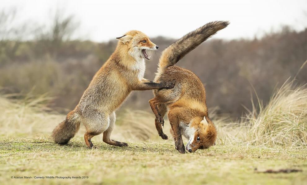 Vision d'horreur d'un renard