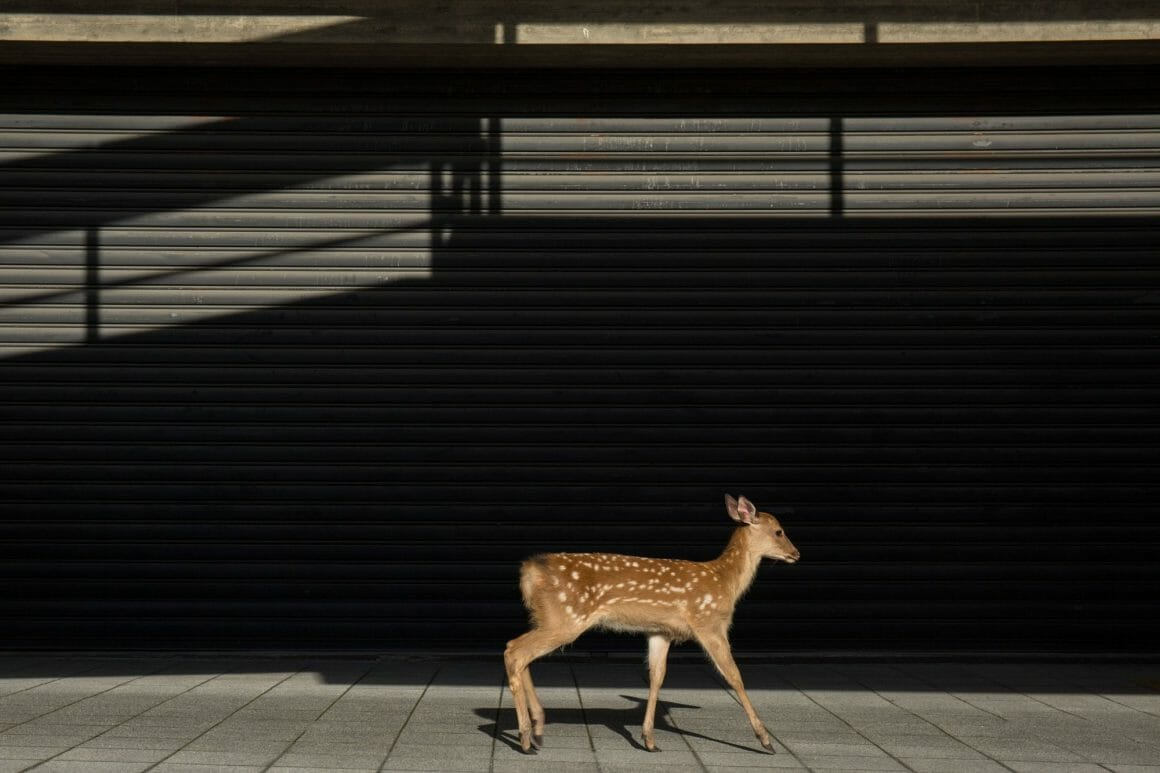 Yoko Iishi, Town walk, un cerf marchant seul dans la ville.
