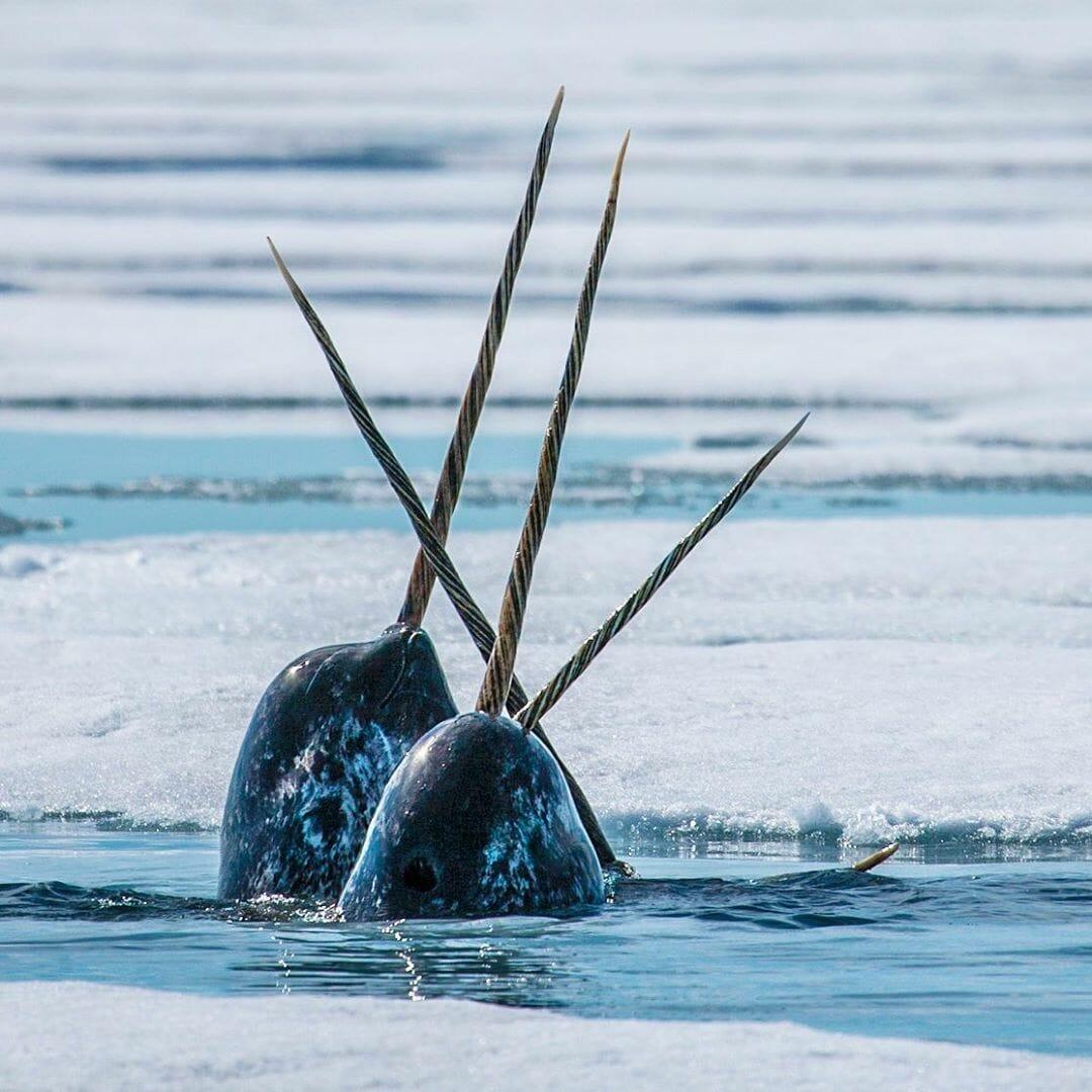 Paul Nicklen photographie des Narvals ou licornes des mers
