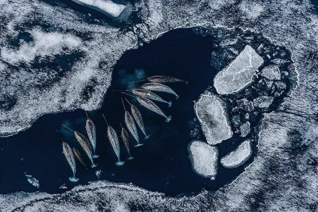 Groupement de narvals en arctique