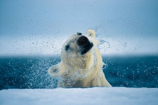 Paul Nicklen photographe