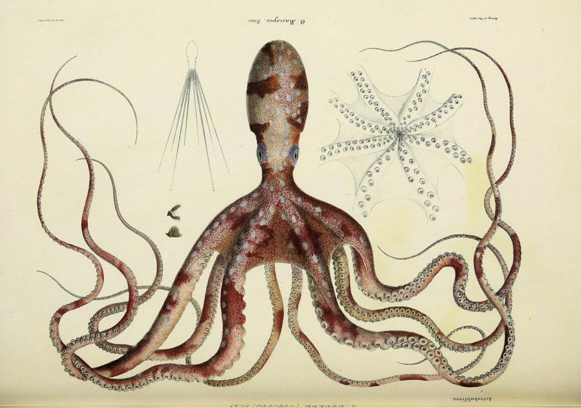 De Histoire naturelle, générale et spécifique des céphalopodes acétabuifères vivants et des fossiles. Biodiversité