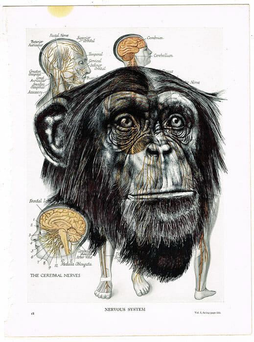 singe hommes squelettes chimpanzés cerveau