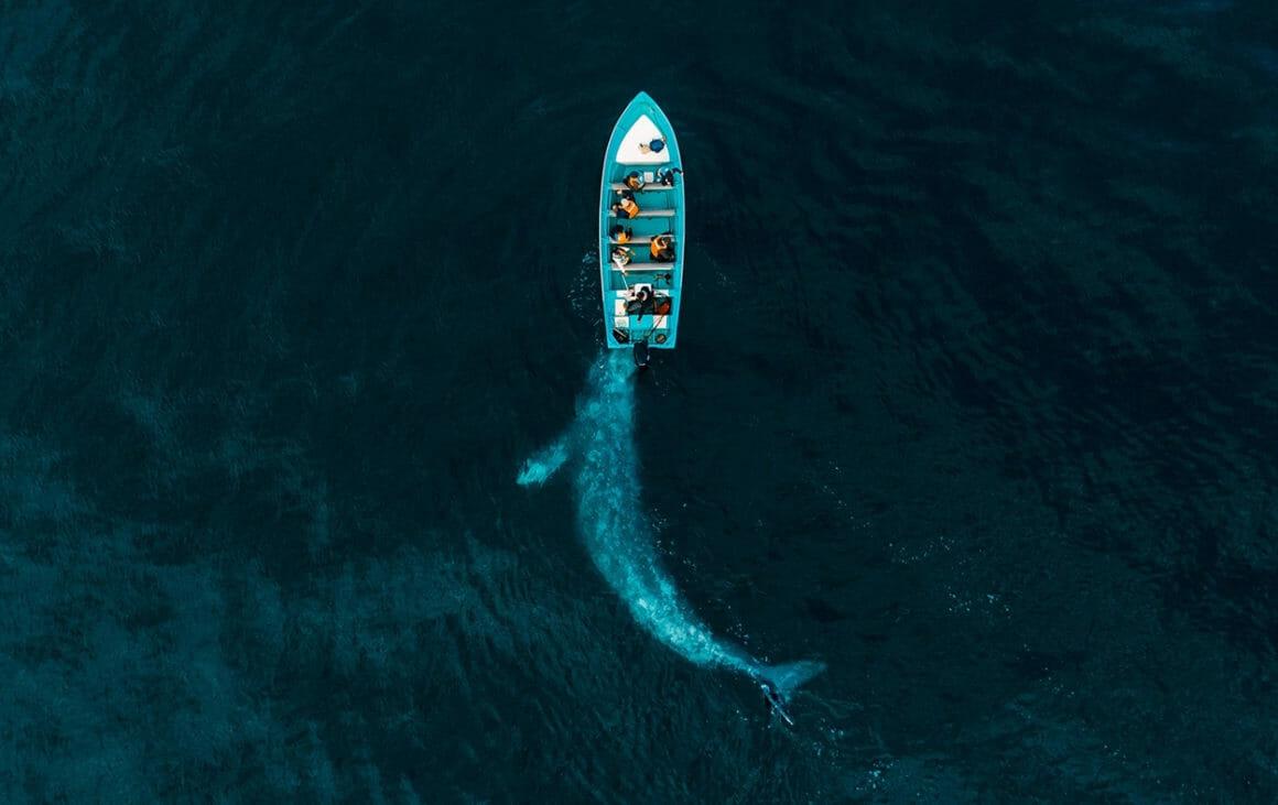 Gray Whale Plays Pushing Tourists par Joseph Cheires, pour la catégorie Nature