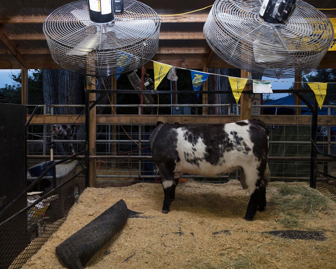 """""""Livestock"""" est une photographie d'une vache prise par Jennifer Garza Cuen"""