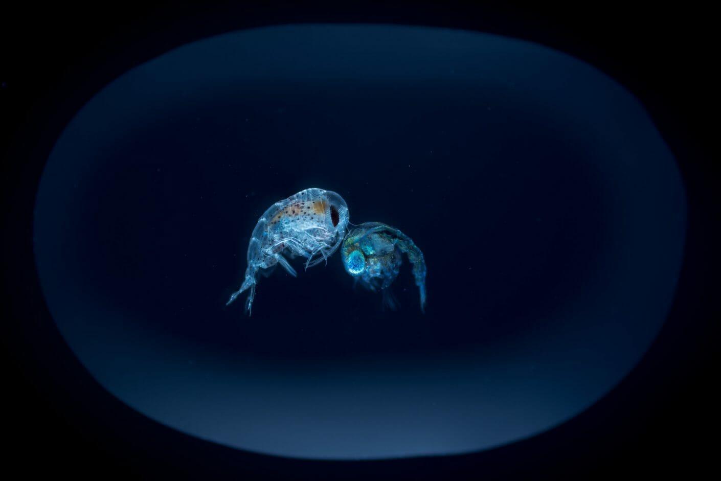 Deux planctons agrandis et vus par une lumière bleue