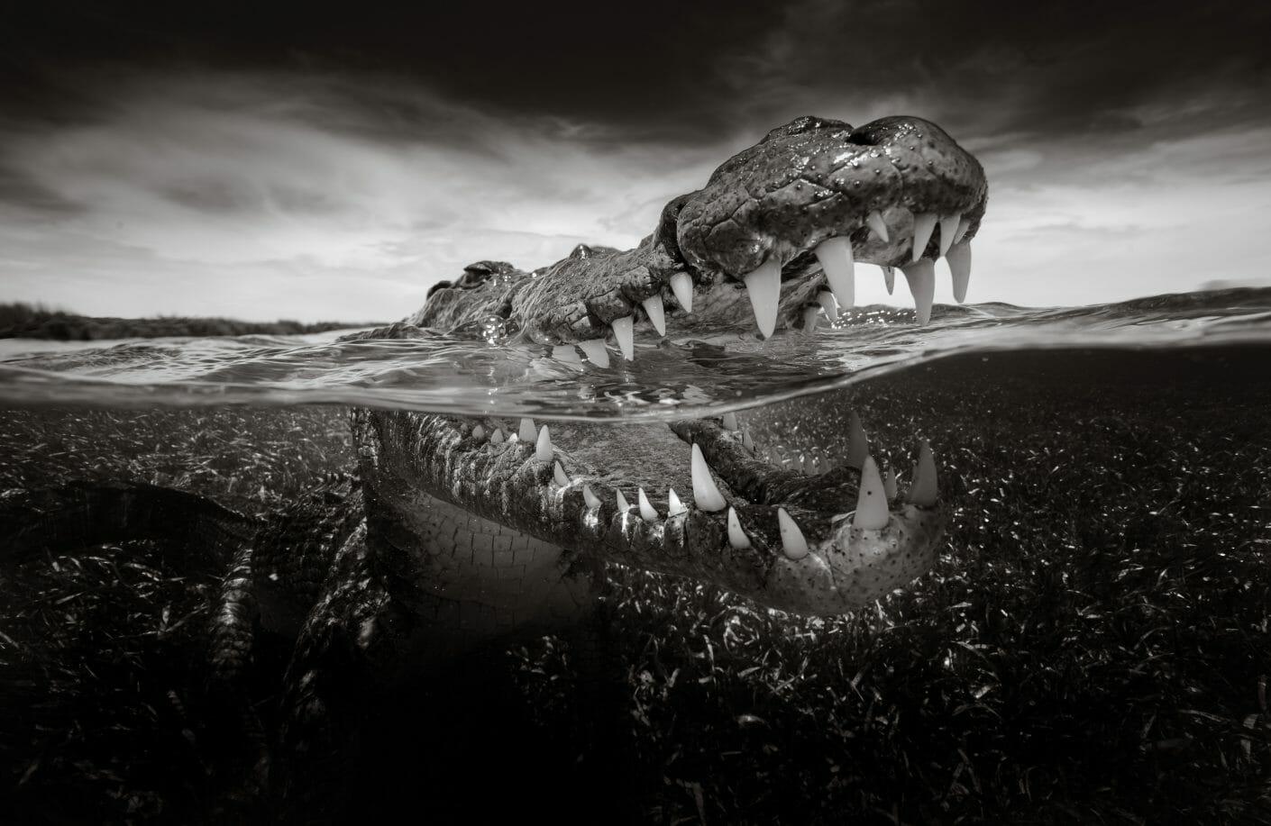 Photo à moitié soit l'eau d'un crocodile qui ouvre la gueule