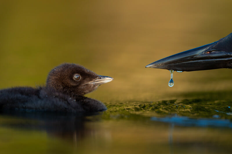 Bird Photographer 2021 Attention au détail. GROWING UP | Raymond Hennessy,USA. 2e prix