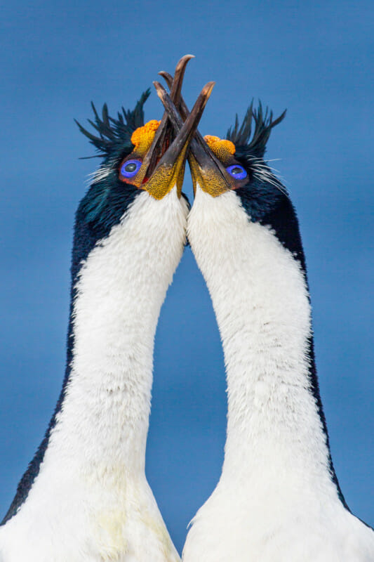 Bird Photographer 2021 Comportement d'oiseau. ENTANGLED | Julie Halliday,Iles Malouines. 3e prix