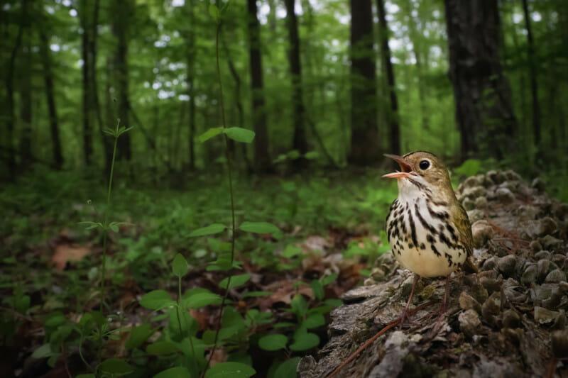 Oiseau dans son Environnement. CLAIMING THE FOREST FLOOR | Joshua Galicki, USA. 2e prix Bird Photographer 2021